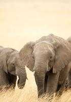elephants, grass, family