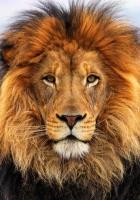 face, eyes, lion