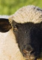 face, wool, sheep