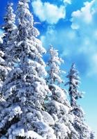 fir-trees, sky, trees