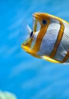 fish, striped, underwater world