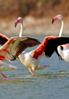 flamingo, lake, water