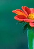 flower, beautiful, petals