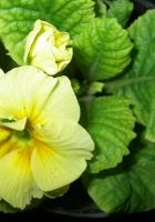 flower, indoor, pot