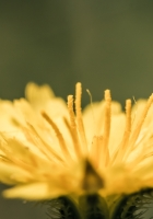 flower, petals, dandelion
