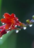 flower, plant, drops