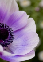 flower, pollen, purple