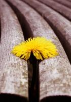 flower, wooden, dandelion