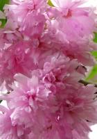 flowering, branch, leaf