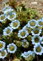 flowers, blue, stones