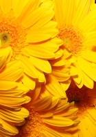 flowers, bright, yellow