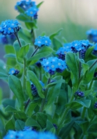 flowers, forget-me, close up