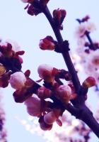 flowers, lavender, purple