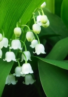 flowers, muguet, green