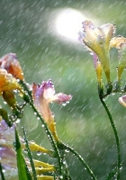 flowers, rain drops, nature