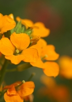 flowers, small, orange