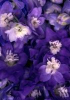 flowers, violet, petals