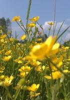 flowers, yellow, field