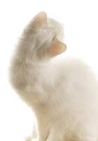 fluffy, cat, white