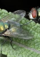 fly, flies, leaf green