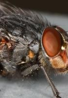 fly, macro, eye