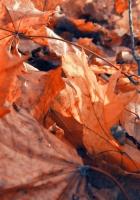 foliage, autumn, maple