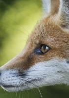 fox, face, profile