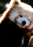 fox, fiery, little