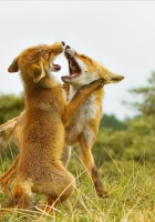 fox, fighting, aggression