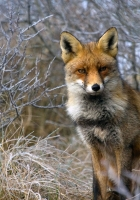 fox, grass, sit