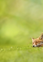 fox, grass, sleeping