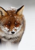 fox, nature, storm