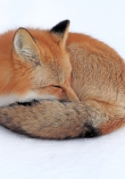 fox, snow, down