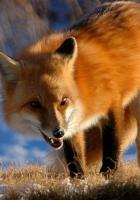 fox, walking, grin