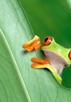 frog, leaf, grass