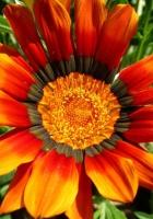 gazaniya, flower, flowerbed