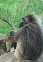 gelada, monkey, couple