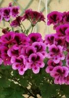 geranium, pots, flowers