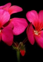 geraniums, bloom, close up