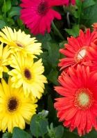 gerbera, flower, flowerbed