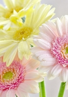 gerbera, flowers, bouquet