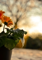 gerbera, flowers, nature