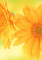 gerbera, flowers, two