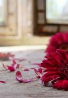 gerbera, petals, three