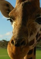giraffe, face, ears