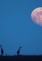 giraffes, moon, silhouettes