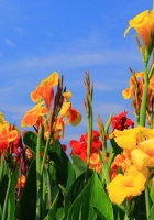 gladioli, flowers, buds