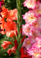 gladiolus, flowers, bright