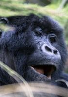 gorilla, monkey, face