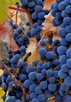 grapes, fruit, autumn